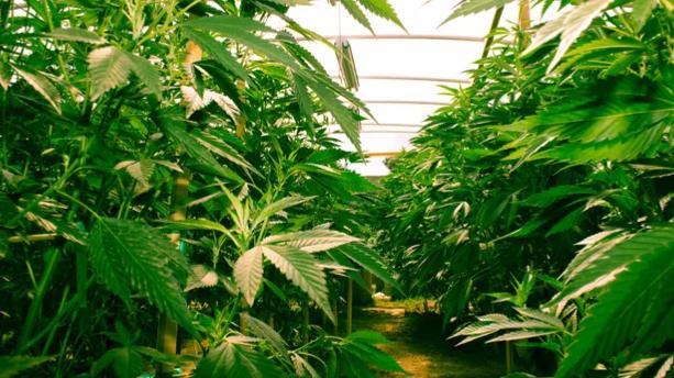 Une véritable forêt de cannabis a été découverte chez un particulier dans le Doubs.